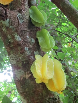 Starfruit growing curiously from the trunk of the tree