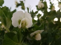 The white of pea flowers