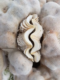Clam in coral