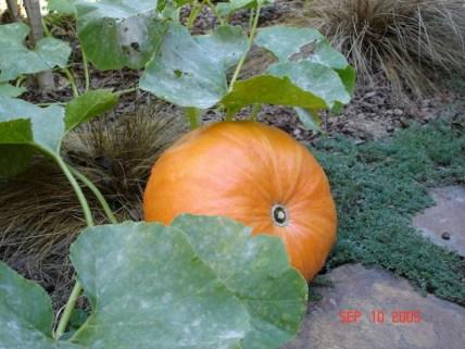 Alys Milner 32 mins · Edited · Our first backyard pumpkin September, 2005