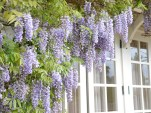 Wisteria on the veranda