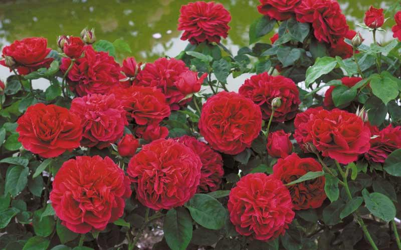 L.D. Braithwaite David Austin roses