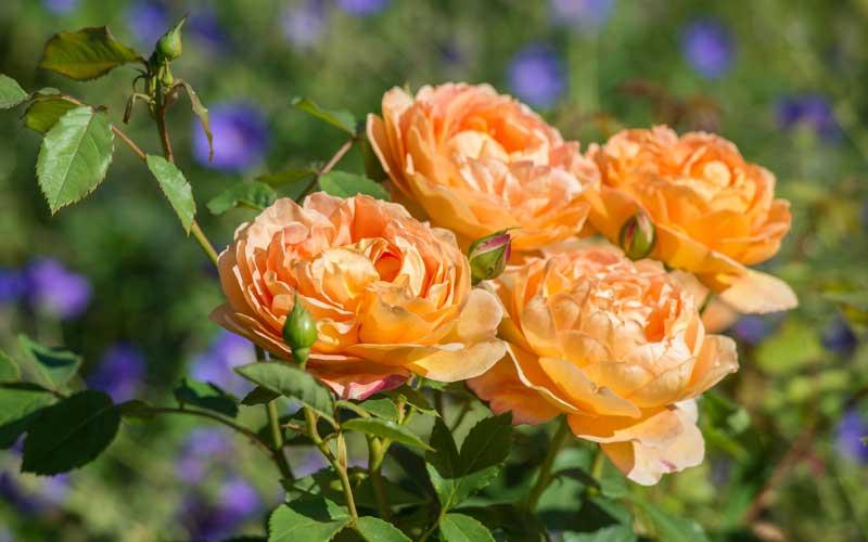 Lady of Shalott David Austin rose