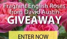 David Austin Roses Giveaway