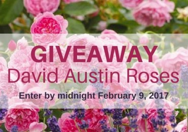 Enter the David Austin Roses giveaway
