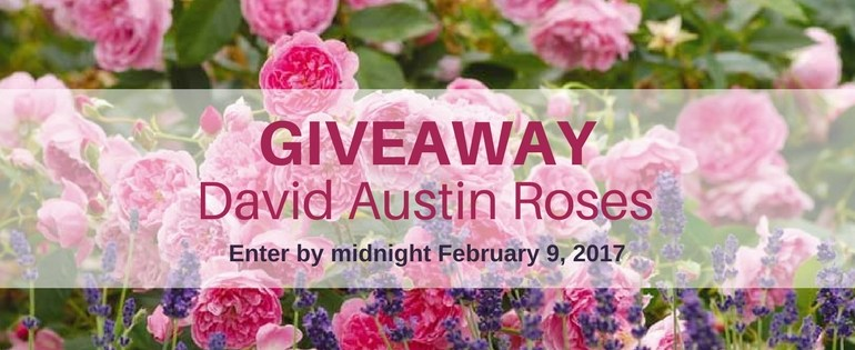 Enter the David Austin Roses giveaway