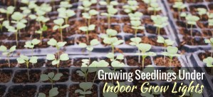 start seeds under indoor lights