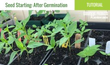 Seed Starting, Part 2: What To Do After Germination