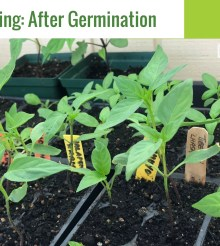 Seed Starting – After Germination