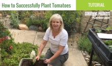 How to Plant Tomatoes to Maximize Your Harvest