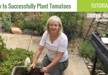 plant tomatoes seedlings