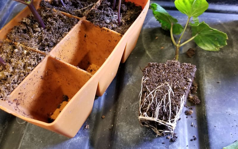removing seedling from Sili-Seedling tray
