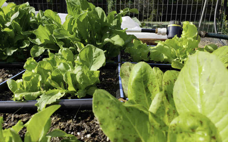 garden in minutes with healthy lettuce