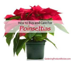 how to buy and care for poinsettias