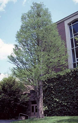 Pond cypress photo by Dr. Edward Gilman