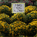 Yellow mums for sale
