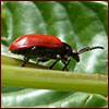 the beneficial air potato beetle