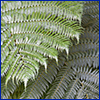 Close view of deep green fern fronds