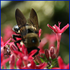 Bee on pink pentas flower