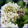 A white clover flower with a tiny bee