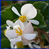 White flowers of a wax begonia