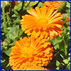 Bright orange flowers with many petals