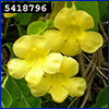 Yellow flowers of the invasive cat's claw vine