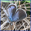 Tiny blue and gray butterfly