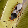 Black and white adult chinch bug