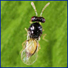 Top view of a tiny wasp with clear wings
