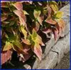 Coleus plants
