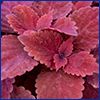 Deep burgundy foliage of a coleus cultivar