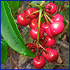 Red berries of coral ardisia