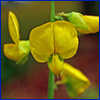 Yellow crotalaria flower