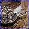 Eastern diamondback rattle snake