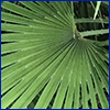 Fan shaped green palm frond