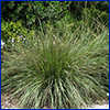 A large clump of green ornamental grass