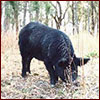 A feral hog in the forest