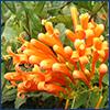 Bright orange flowers of flame vine