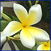Creamy white pinwheel shaped frangipani flower with yellow center