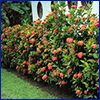 Healthy shrub with green leaves and red flowers