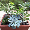 Five different succulent plants in a terracotta container