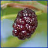 Fruit of mulberry tree