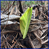 Young canna leaf growing out of a mound of freeze-killed plants