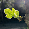 A tiny fig leaf budding from the tree with sun shining through it