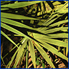 Light green palmetto fronds in sunlight