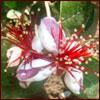 Pineapple guava flower