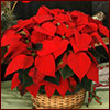 poinsettia in basket