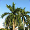Royal palm tree photo by Dr. Timothy Broschat