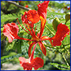 Delicate red flower of royal poinciana tree